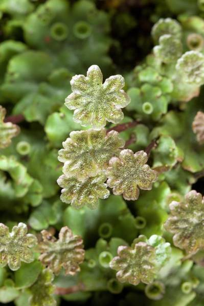 Liverwort Photograph - Marchantia Polymorpha Subsp Ruderalis by Dr Jeremy Burgess/science Photo Library
