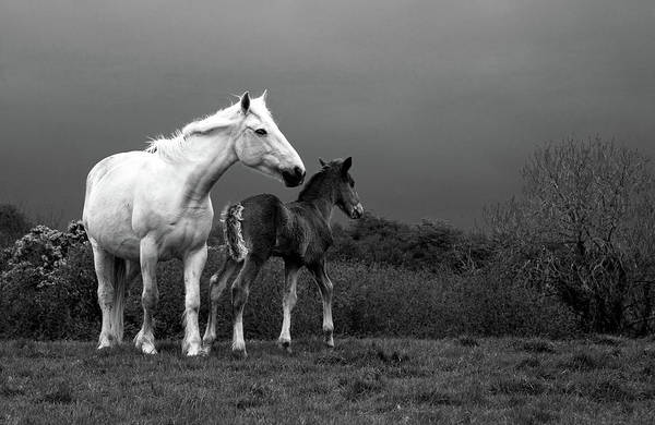 Mare And Foal Photograph - Mare And Foal, Co Derry, Ireland by Panoramic Images