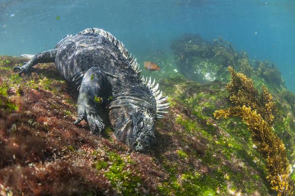 Galapagos Islands Photograph - Marine Iguana Feeding On Algae Punta by Tui De Roy