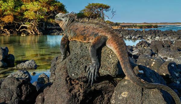 Wall Art - Photograph - Marine Iguana, Galapagos Islands by Art Wolfe