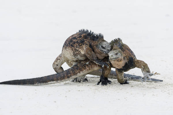 Santa Cruz Island Wall Art - Photograph - Marine Iguana Males Fighting Turtle Bay by Tui De Roy