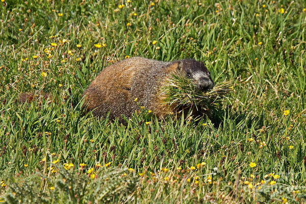 Photograph - Marmot Gathering Grass At Rock Cut In Rocky Mountain National Park by Fred Stearns