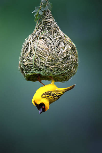 Dark Background Photograph - Masked Weaver At Nest by Johan Swanepoel