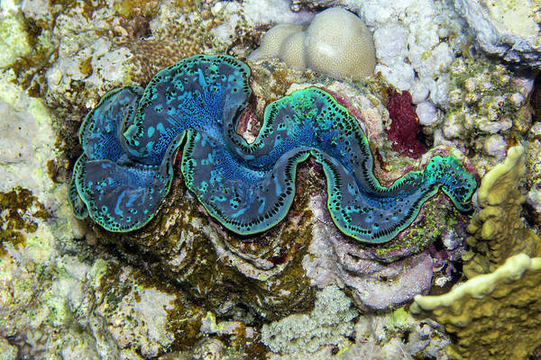 Wall Art - Photograph - Maxima Clam by Michael Szoenyi/science Photo Library