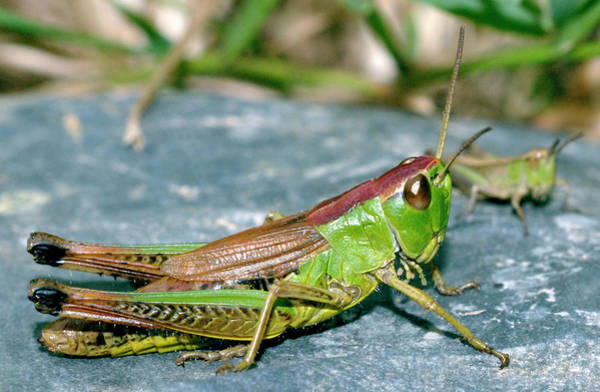 Dorsal Wall Art - Photograph - Meadow Grasshopper by Sinclair Stammers/science Photo Library
