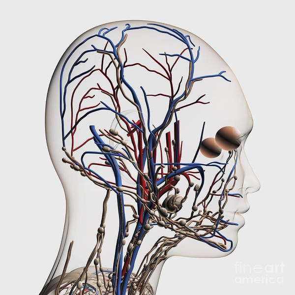 Eyeball Digital Art - Medical Illustration Of Head Arteries by Stocktrek Images