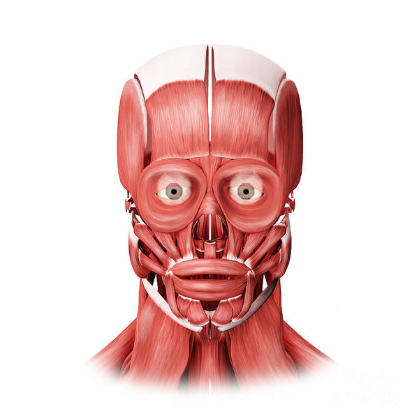 Muscle Tissue Digital Art - Medical Illustration Of Male Facial by Stocktrek Images