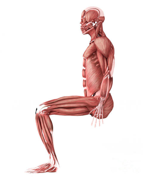 Muscle Tissue Digital Art - Medical Illustration Of Male Muscles by Stocktrek Images