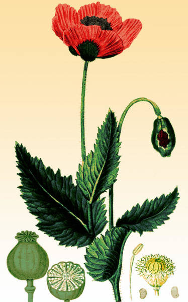 Photograph - Medicinal Plant-poppy 1815 by Science Source