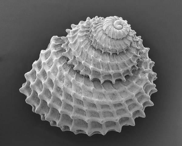 Gastropod Wall Art - Photograph - Mediterranean Mollusc (danilia Octaviana) by Dennis Kunkel Microscopy/science Photo Library