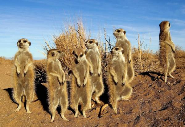 Wall Art - Photograph - Meerkats by Tony Camacho/science Photo Library