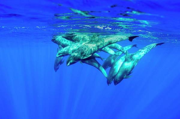 Water-melon Wall Art - Photograph - Melon-headed Whales by Christopher Swann/science Photo Library
