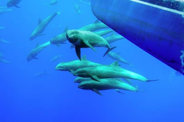 Water-melon Wall Art - Photograph - Melon-headed Whales With A Boat by Christopher Swann/science Photo Library