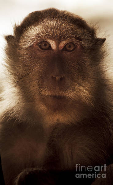 Long Tail Photograph - Mesmerised Monkey by Jorgo Photography - Wall Art Gallery