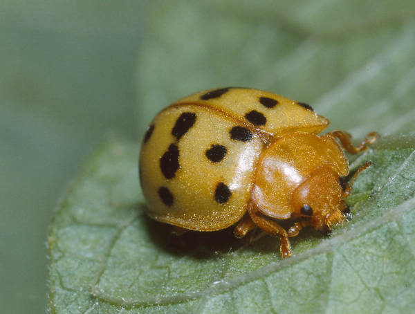 Mexican Bean Beetle Art Print by Harry Rogers