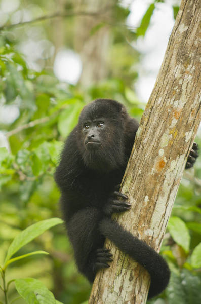 Howling Photograph - Mexican Black Howler Monkey Belize by Kevin Schafer