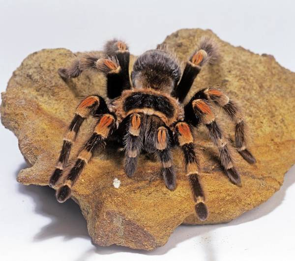 Spider Rock Photograph - Mexican Red-knee Tarantula by Natural History Museum, London/science Photo Library