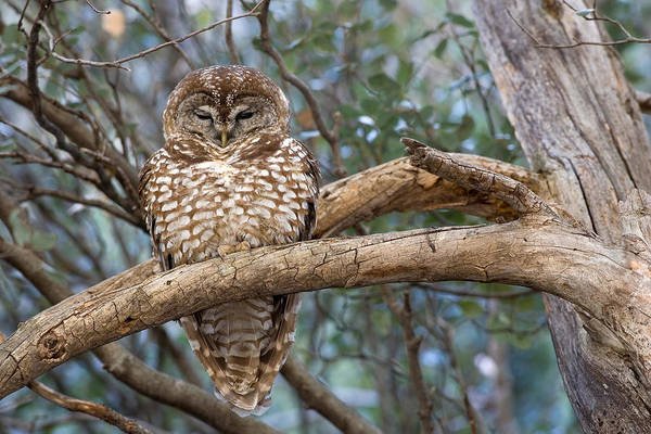 Wall Art - Photograph - Mexican Spotted Owl by Craig K. Lorenz