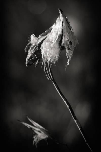 Photograph - Milkweed Pod by Al  Mueller
