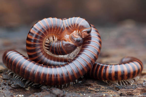 Behaviour Photograph - Millipedes Mating by Melvyn Yeo
