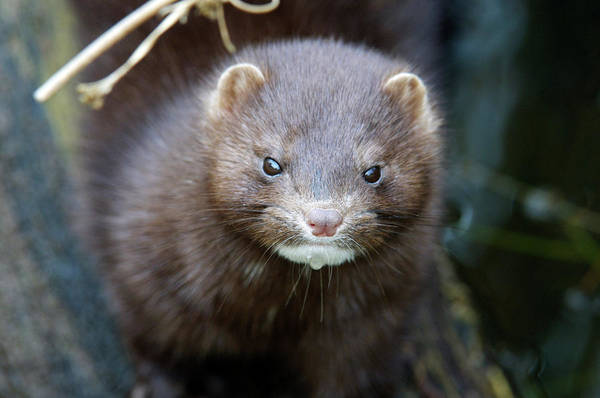 Introduced Species Photograph - Mink by Louise Murray/science Photo Library
