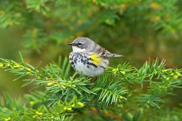 Yellow-rumped Warbler Photograph - Minnesota, Mendota Heights by Bernard Friel