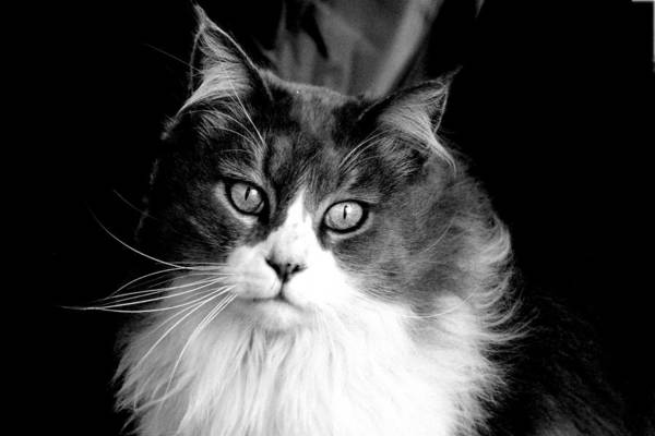 Photograph - Miss Kitty Portrait II Bw by Lesa Fine