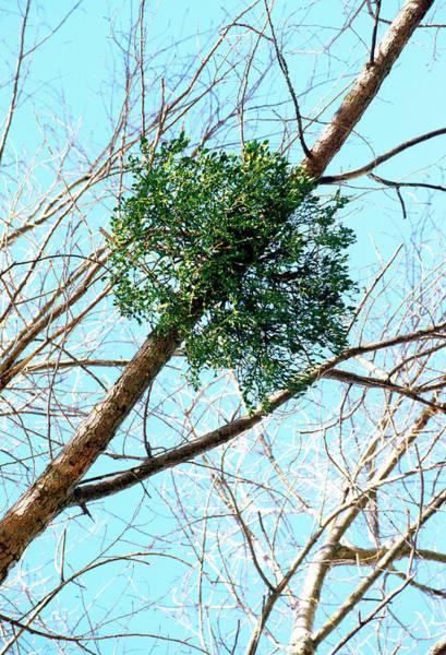 Hemi Photograph - Mistletoe (viscum Album) by Bruno Petriglia/science Photo Library