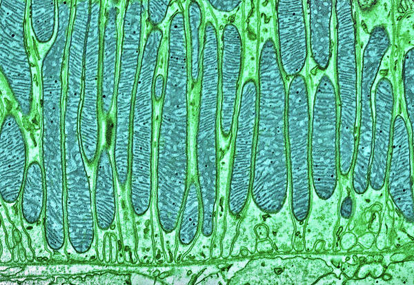 Organelle Photograph - Mitochondria by Thomas Deerinck, Ncmir/science Photo Library