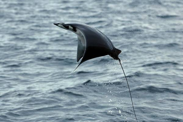 Japonica Photograph - Mobula Ray Breaching by Christopher Swann/science Photo Library