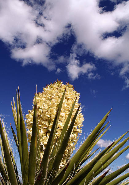 Wall Art - Photograph - Mojave Yucca In Bloom by Jeffrey Lepore