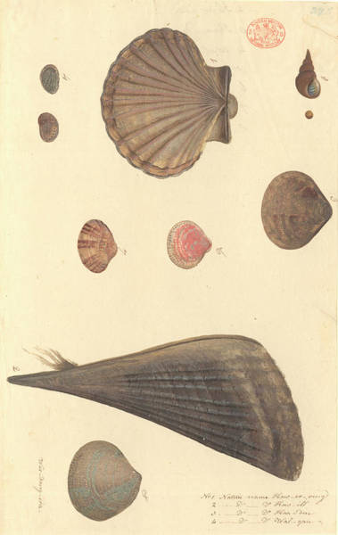 Cockle Wall Art - Photograph - Molluscs by Natural History Museum, London