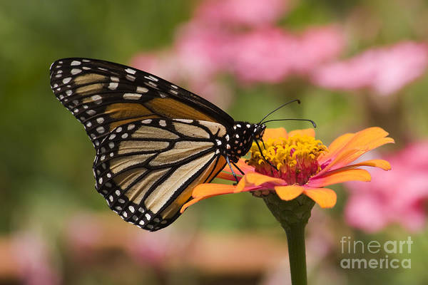 Photograph - Monarch Butterfly by Jill Lang