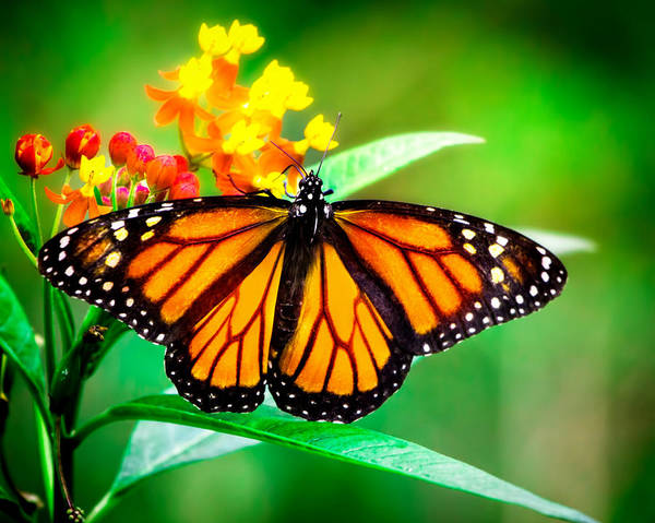 Rights-managed Wall Art - Photograph - Monarch Butterfly by Mark Andrew Thomas