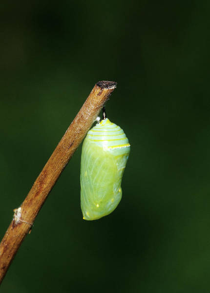 Pupa Photograph - Monarch (danaus Plexippus by Richard and Susan Day