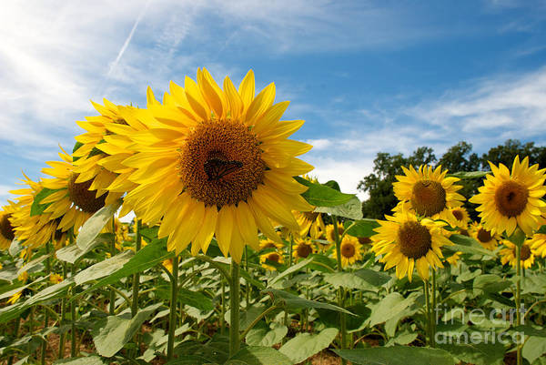 Photograph - Monarch On A Sunflower by Mark Dodd