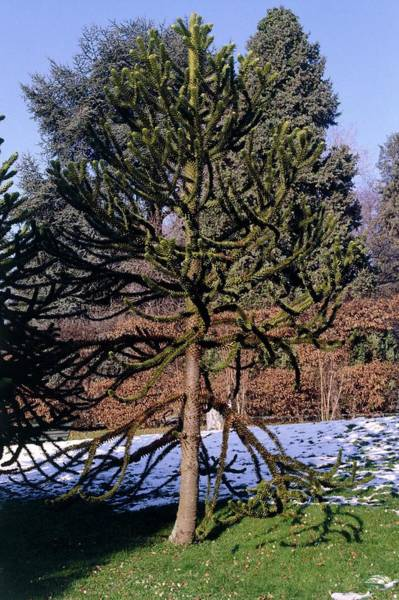 Snow Monkey Photograph - Monkey Puzzle Tree. (araucaria Araucana) by Yves Tzaud/science Photo Library