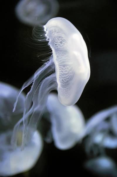 Cnidaria Photograph - Moon Jellyfish by Bildagentur-online/mcphoto-schulz