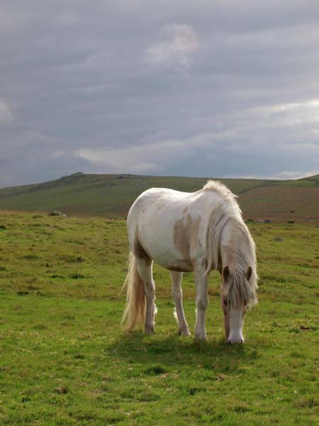 Moored Photograph - Moorland Pony, Davidstow, Bodmin Moor by Nik Taylor