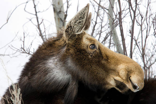 Alces Alces Photograph - Moose At Grand Teton National Park by Tom Norring