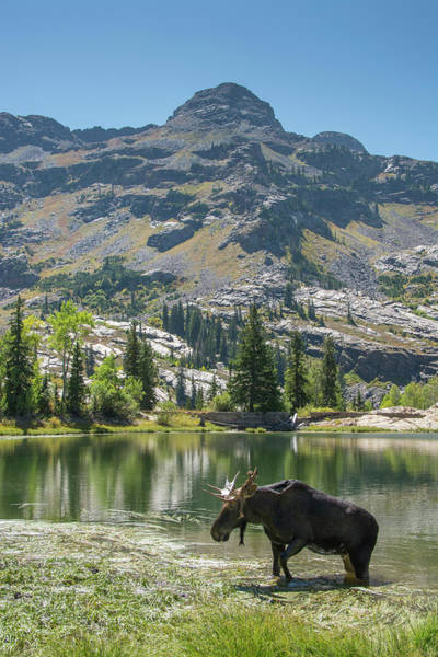 Alces Alces Photograph - Moose In Uintah Wasatch Cache National by Howie Garber