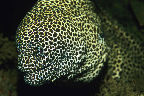 Eels Photograph - Moray Eel by Lionel, Tim & Alistair/science Photo Library
