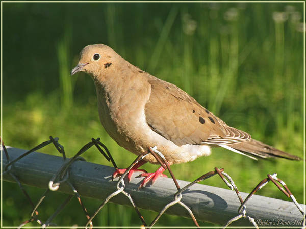 Wall Art - Photograph - Morning Dove I by Debbie Portwood