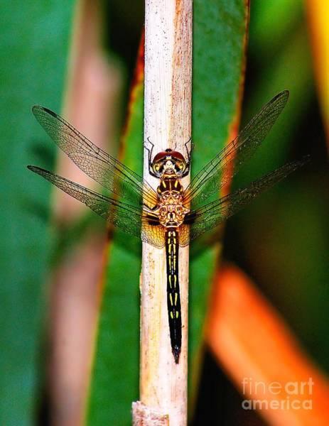 Photograph - Morning Dragon Fly by Nick Zelinsky