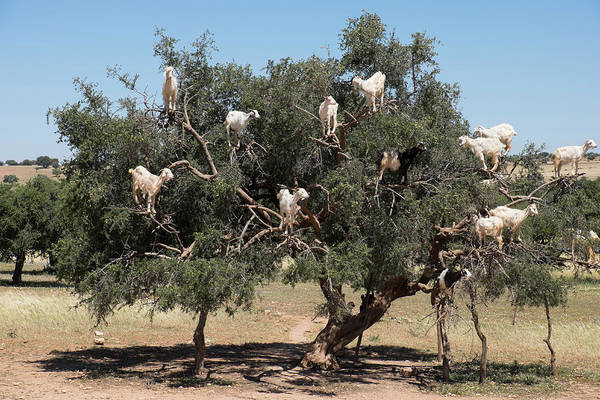 Tree Climbing Photograph - Morocco, Road To Essaouira, Goats by Emily Wilson