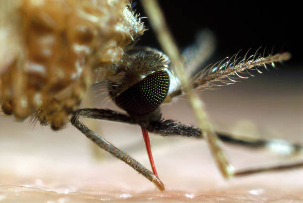 Body Piercing Photograph - Mosquito Feeding by Sinclair Stammers/science Photo Library