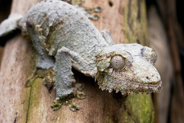 Mossy Wall Art - Photograph - Mossy Leaftail Gecko On A Tree by Philippe Psaila/science Photo Library