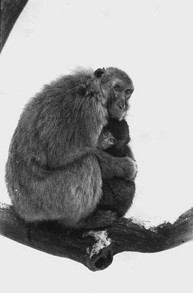 Snow Monkey Photograph - Motherly Love by Retro Images Archive