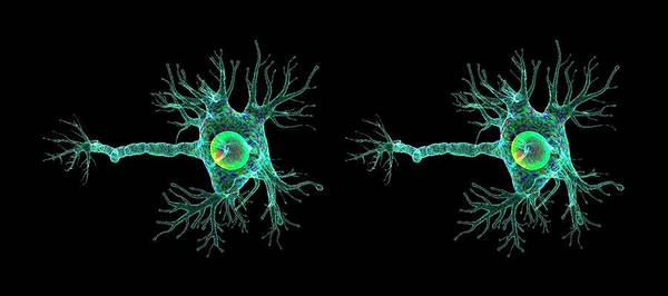Nerve Cell Photograph - Motor Neuron by K H Fung/science Photo Library