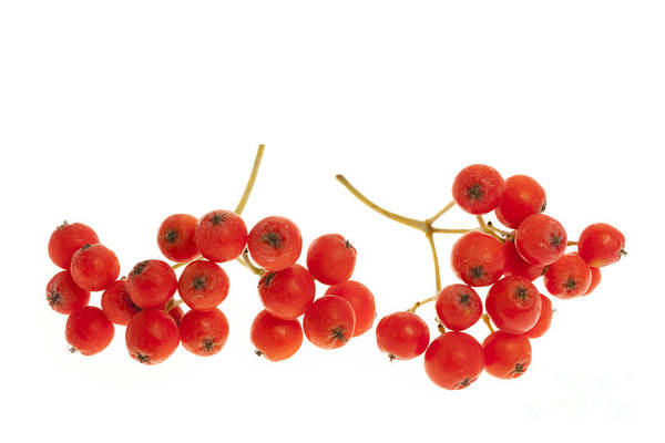Green Berry Photograph - Mountain Ash Berries by Elena Elisseeva